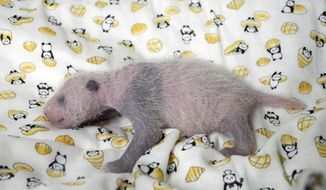 This Thursday, June 22, 2017 image released by Tokyo Zoological Park Society, shows a 10-day giant panda cub at Ueno Zoo in Tokyo. Ueno Zoo said Friday, June 23, 2017 the panda, born on June 12, was ruled a female by examining experts. The still nameless cub has been doing well, drinking mother ShinShin's milk. Panda cubs gradually get black markings on their ears, eyes and paws, and the spots were starting to show. (Tokyo Zoological Park Society via AP)