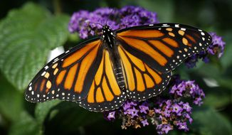 FILE - In this Sept. 17, 2018 file photo, a monarch butterfly rests on a flower in Urbandale, Iowa. Something catastrophically wrong happened in 2018 to monarch butterflies. Idaho wildlife biologist Ross Winton spent years working with monarch butterflies. With the help of volunteers, he would carefully put a tiny tag the size of a paper hole punch on about 30 to 50 of the iconic insects each summer in the Magic Valley. Then during the summer of 2018 he could only find two to tag. (AP Photo/Charlie Neibergall, File)