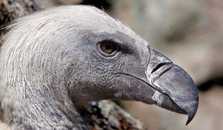 """In this file photo taken Wednesday, Sept. 22, 2011, a Cape vulture is seen in its enclosure at the Vulture Programme at Boekenhoutkloof near Hartbeespoort Dam, South Africa. The birds are known as loyal mates, devoted parents and resourceful foragers, as well as spectacular flyers. Visitors to the Vulture Programme can observe the birds feeding at a """"vulture restaurant"""" and get close to a Cape vulture breeding colony established on an artificial cliff built of concrete, mesh and paint.  (AP Photo/Denis Farrell)"""