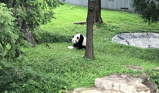 Male panda Tian Tian is seen in his outdoor pen at the National Zoo in this Aug. 22, 2020 photo. A day earlier, a cub was born to female panda Mei Xiang, who was impregnated earlier this year with semen from Tian Tian. The cub is the fourth born to Mei Xiang and will be sent to China when it is older as part of a conservation program to boost the panda population in the country. (PHOTO: Shen Wu Tan/The Washington Times)