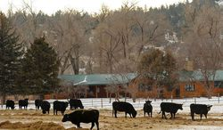 Associated Press photographs Black angus cattle grazed near the lodge at the Diamond Cross Ranch along the Tongue River near Birney, Mont., on Saturday. The ranch is fighting proposed coal bed methane production on its lands. Forrest E. Mars Jr., the former chief executive of McLean-based Mars Inc., owns the sprawling ranch.
