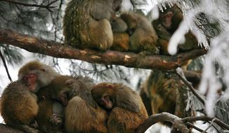 ** FILE ** Wild macaques huddled against the cold in southwest China's Guizhou province as record-breaking winter storms pound eastern, central and southern provinces, stranding holiday travelers and burying dwellings in Nanjing (above) in the east under heavy snow. (Associated Press)