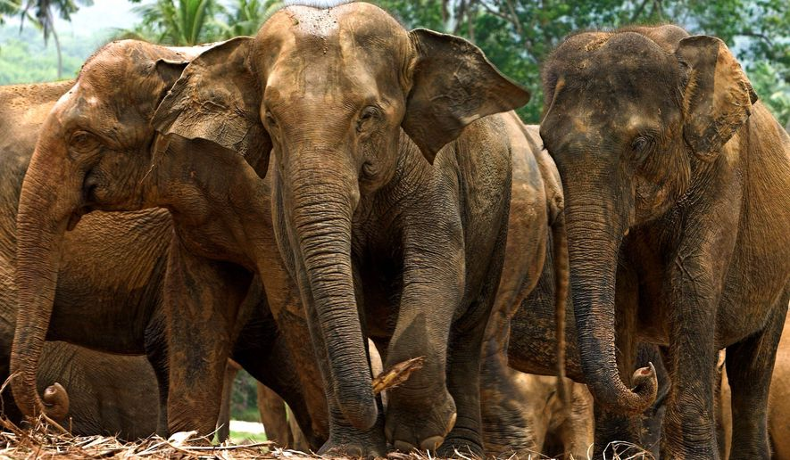 ASSOCIATED PRESS Herds of Asian elephants in Malaysia's Taman Negara National Park in Pahang state are apparently larger than feared, according to an examination of the dung they leave behind.