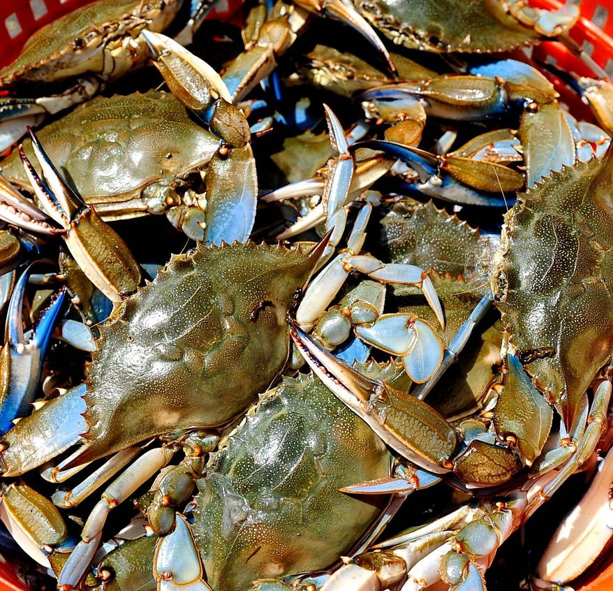 Chesapeake Bay blue crabs (The Washington Times)