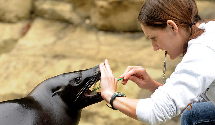 ** FILE ** Rebecca Miller, an animal keeper at the National Zoo, brushes the teeth of Summer the seal. The seals get their teeth brushed every day with a regular toothbrush and seafood-flavored toothpaste. (Barbara L. Salisbury/The Washington Times)