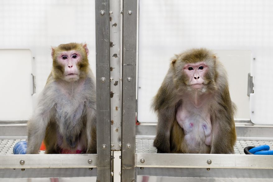 ** FILE ** Rhesus monkeys Canto, 27 (left), which is on a restricted diet, and Owen, 29, which is on an unrestricted diet, are pictured at the Wisconsin National Primate Research Center at the University of Wisconsin in Madison, Wis., in 2009. (AP Photo/University of Wisconsin-Madison, Jeff Miller)