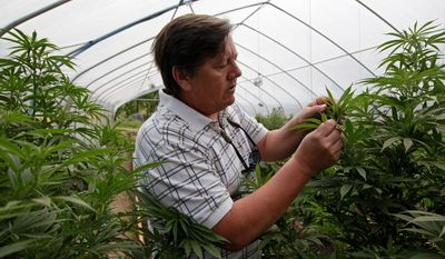 Associated Press photographs. *FILE* Jim Hill (above) looks after the marijuana he grows for medicinal purposes at his farm in Potter Valley, Calif., and shows the roots (left) of one plant.