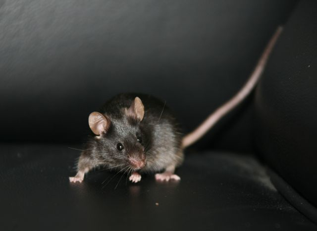** FILE ** This mouse was produced from stem cells coaxed from skin tissue of adult mice and then reprogrammed. Two teams of Chinese scientists have made a major advance in the development of a new kind of stem cell that doesn't involve destroying embryos. (AP Photo/Nature, Dr. Qi Zhou)