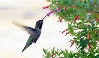 getty images A Hummingbird feeds.