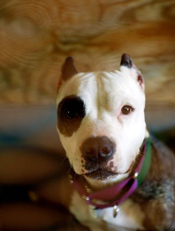 ASSOCIATED PRESS Naja is a young pit bull at the Villalobos Rescue Center.