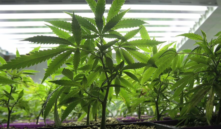 **FILE** Young marijuana plants