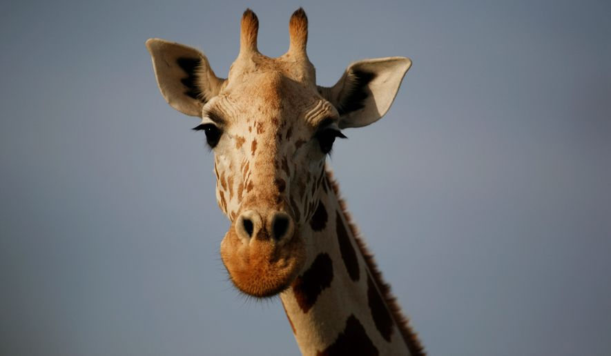 A giraffe from Africa's most endangered giraffe subspecies, Giraffa camelopardalis peralta, roams freely near Koure, Niger. While the African giraffe population has decreased over the years, Niger is seeing an unlikely boom. (Associated Press)