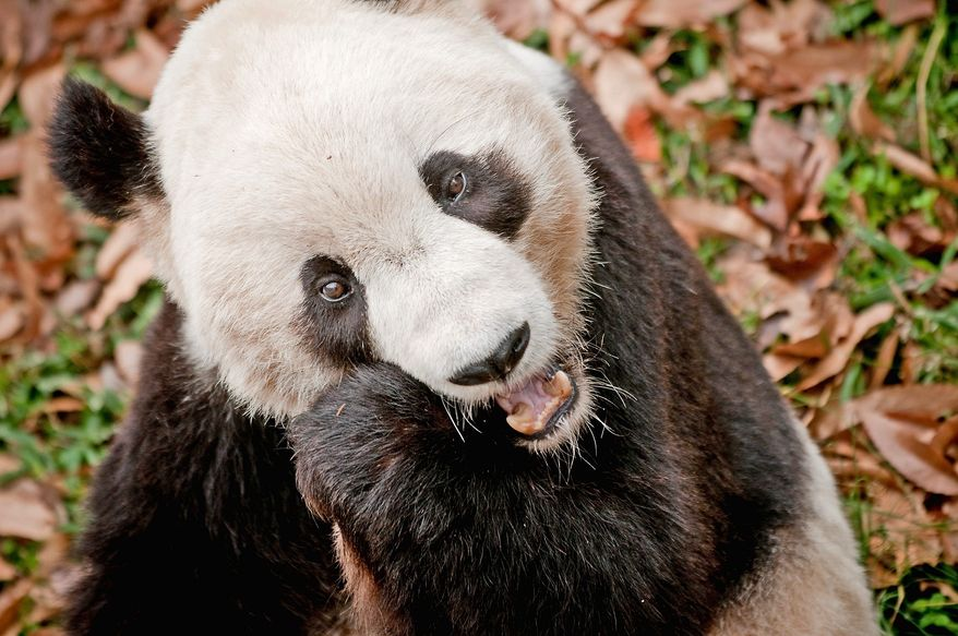 **FILE** Giant Panda Tai Shan eats an apple in his enclosure in the National Zoo in Northwest Washington on Friday, but will be leaving his parents early next year to breed in China. He was born in the Smithsonian park. (Allison Shelley/The Washington Times)