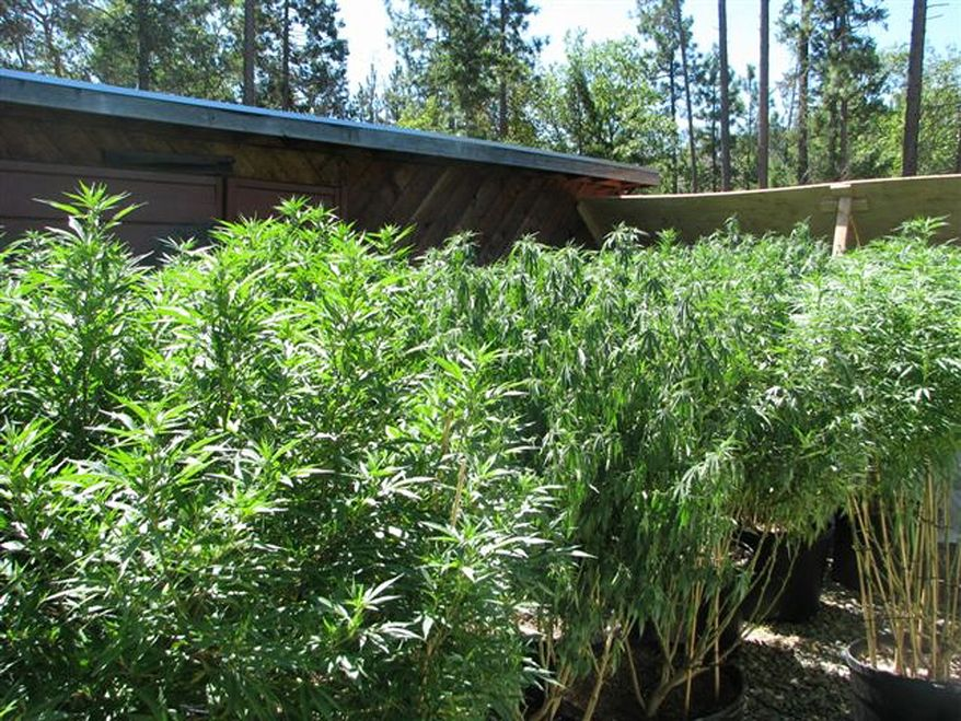 In this August 2009 photo provided the Rogue Area Drug Enforcement Team via The Grants Pass Daily Courier,a marijuana grow site in on Allen Creek Road is seen in Grants Pass, Ore. Josephine County has hundreds of grow sites for medical marijuana. Police raided the site in August where 160 plants found, inside and outside of the home. Police charged the grower exceeded his limit, with 24 mature plants outside and 136 inside. (Associated Press)