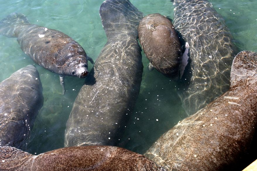 Manatees gather in the warm water discharged from the Florida Power and Light Co.'s Riviera Beach power plant into the Intracoastal Waterway during recent cold weather. (Associated Press)