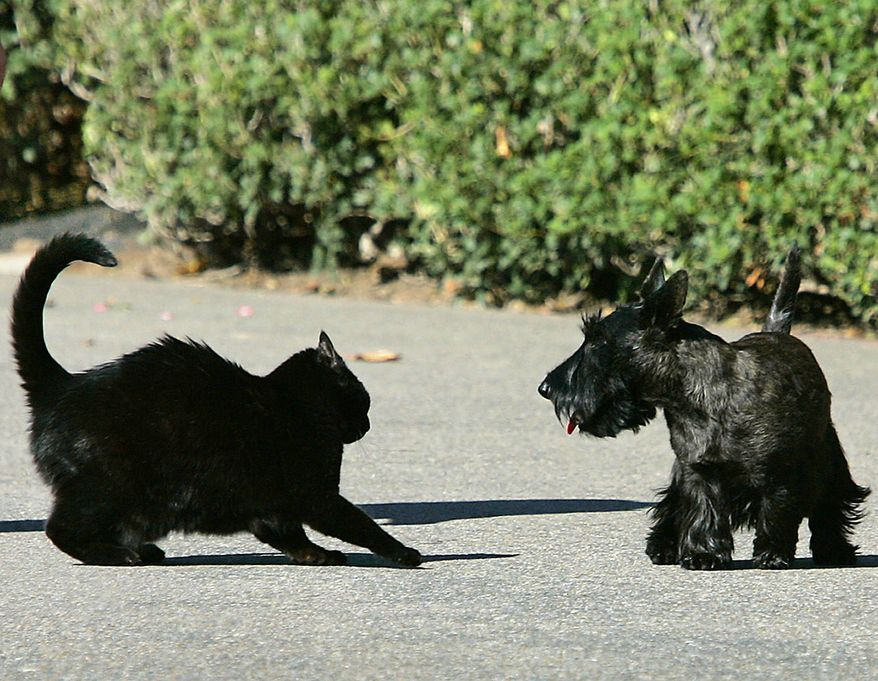 October may be a black cat's favorite month, but President George W. Bush's pets India, left, and Miss Beazley, right, don't appear to be each other's favorites as they square off during a walk on the South Lawn of the White House in Washington, Monday, Oct. 2, 2006. The dust-up was over quickly, and the cloistered companions returned peacefully to the White House. (AP Photo/J. Scott Applewhite)