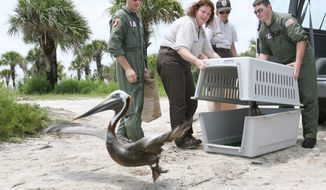 Lt. Jamison Ferriel, Dr. Sharon Taylor and AET Everett Hill release pelicans into the Indian River Lagoon on Sunday. About a dozen birds tainted with oil from the gulf spill were released at Merritt Island National Wildlife Refuge. The birds were treated in Louisiana and flown Sunday on board a United States Coast Guard HC 144 aircraft with a crew of 4 and veterinarian Dr. Sharon Taylor with US Fish and Wildlife. (Associated Press)