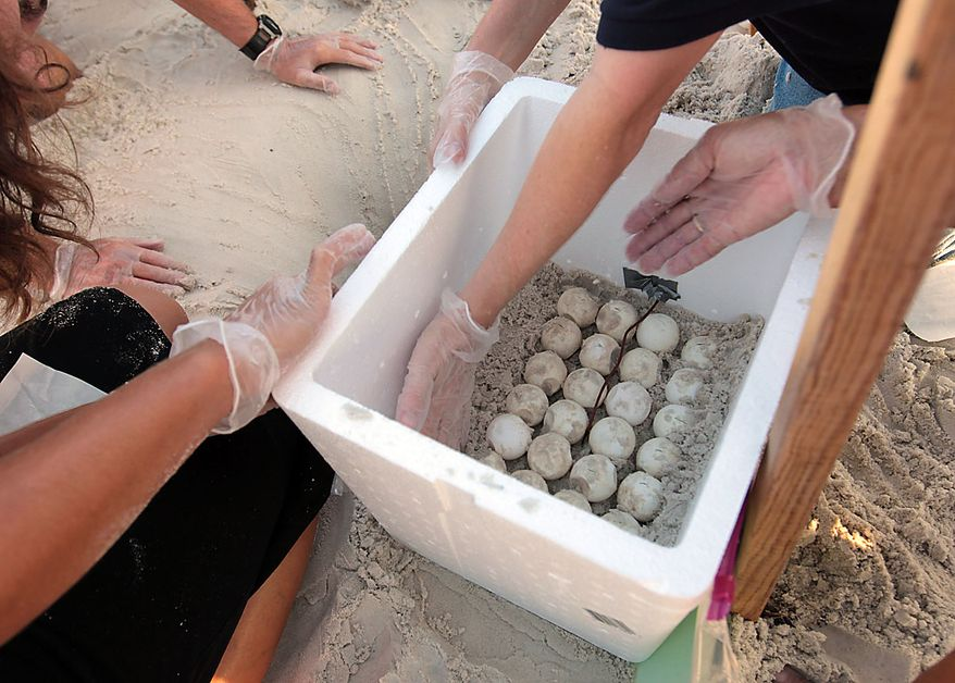 Researchers and biologists place sand around sea turtle eggs they placed in a cooler after harvesting them from the sand in Cape San Blas, Fla.,  Friday, July 9, 2010.  U.S. Fish and Wildlife and other authorities are relocating thousands of sea turtle eggs to a warehouse on the East coast of Florida in an effort to save them from an oily death from the Deepwater Horizon incident. (AP Photo/Dave Martin)