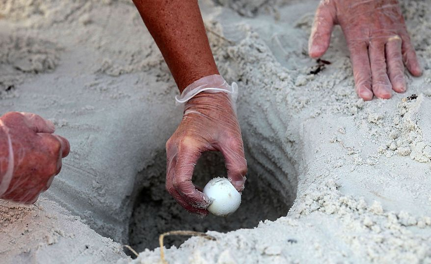 U.S. Fish and Wildlife Biologist Lorna Patrick reaches into a sea turtle nest to harvest eggs from the sand in Port St. Joe, Fla., Friday, July 9, 2010.  U.S. Fish and Wildlife and other authorities are relocating thousands of sea turtle eggs to a warehouse on the East coast of Florida in an effort to save them from an oily death from the Deepwater Horizon incident. (AP Photo/Dave Martin)