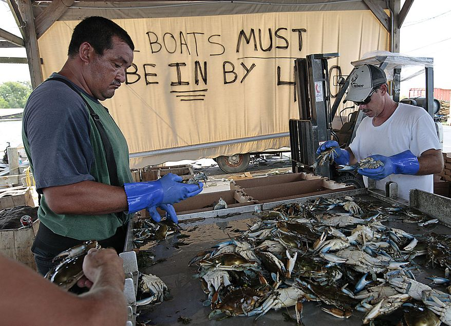 Fishermen continue to sort a load of blue crabs after hearing about the Deepwater Horizon oil spill being capped in Hopedale, La., Thursday, July 15, 2010. BP finally choked off the flow of oil into the Gulf of Mexico on Thursday -- 85 days and up to 184 million gallons after the crisis unfolded,  then began a tense 48 hours of watching to see whether the capped-off well would hold or blow a new leak.  (AP Photo/Dave Martin)