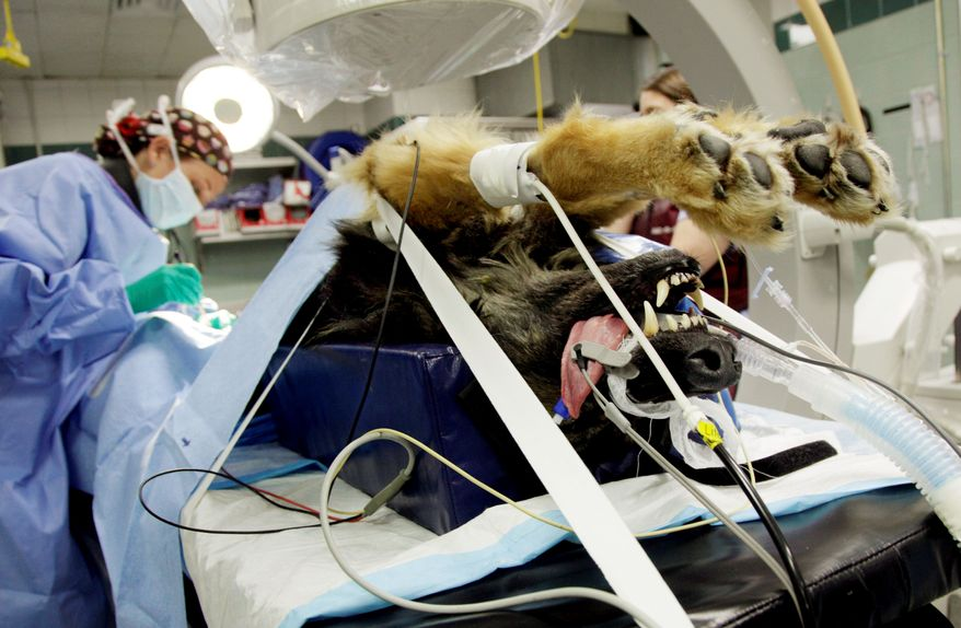 A German shepherd receives chemotherapy from Dr. Allyson Berent at the Animal Medical Center of New York. Veterinarians across the nation are practicing more advanced medicine on animals, and many pet owners are willing to make the investment. (Associated Press)