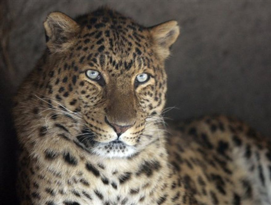 In this Dec. 23, 2009, file photo, snow is mirrored in the eyes of a cheetah in the outdoor enclosure of the zoo Hagenbeck in Hamburg. The Indian government plans to import cheetahs from Africa and introduce them into the country's grasslands, six decades after the fleet-footed feline was hunted here until it disappeared, officials said Monday Aug. 2, 2010. (AP Photo/Axel Heimken, File)