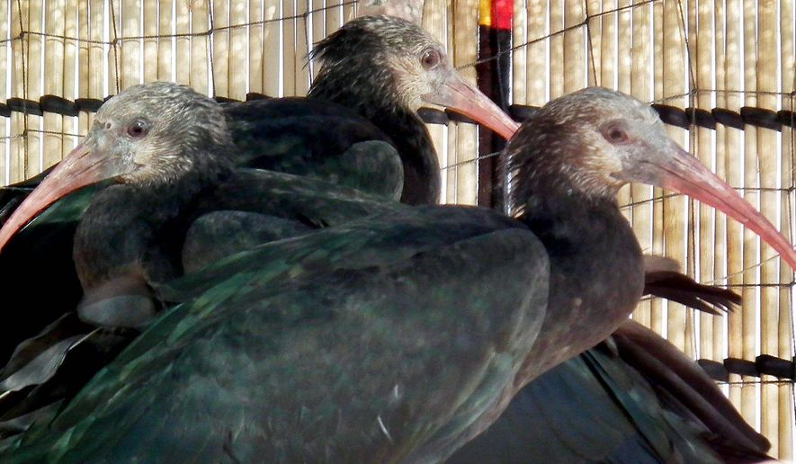 The northern bald ibis was once common across North Africa, the Middle East and parts of Europe, but habitat loss and hunting have devastated the population. (Associated Press)
