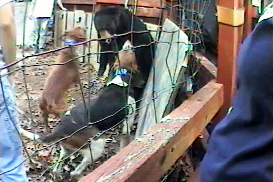 In an image from video provided by the Humane Society of the United States, dogs bark at a bear during a bear-baying exercise in South Carolina, the only state where the practice is legal. (Associated Press)