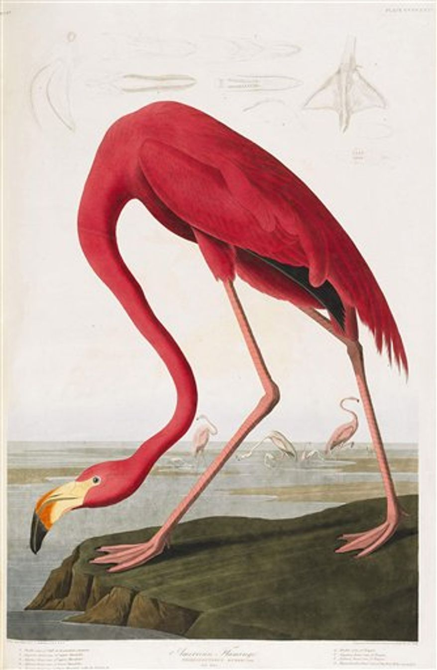 Undated handout photo issued by Sotheby's Thursday September 9, 2010 of an illustration from Audubon's The Birds of America, 1827 - 1838, which could reach 6 million pounds ($9.25 million) when it is auctioned in the Magnificent Books, Manuscripts and Drawings from the Collection of Frederick, 2nd Lord Hesketh sale which will take place at Sotheby's in  London on December 7.  (AP Photo/Sotheby's)