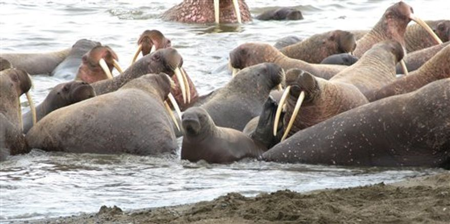 This Sept. 7, 2010 picture provided by the U.S. Geological Survey shows walruses on the barrier island beaches near Point Lay, Alaska. Tens of thousands of walruses have come ashore in northwest Alaska because the sea ice they normally rest on has melted. Federal scientists say this massive move to shore by walruses is unusual in the United States. (AP Photo/U.S. Geological Survey)