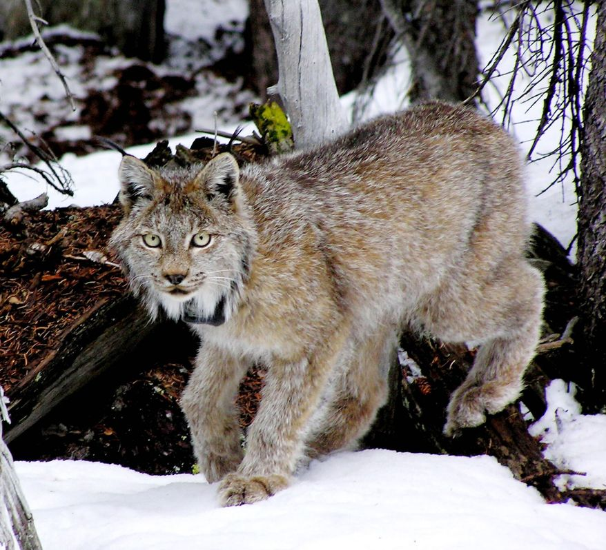 ASSOCIATED PRESS A lynx with a tracking device thrives in the San Juan Mountains south of Creede, Colo. Colorado wildlife officials are declaring victory in their 11-year effort to reintroduce lynx to the state.
