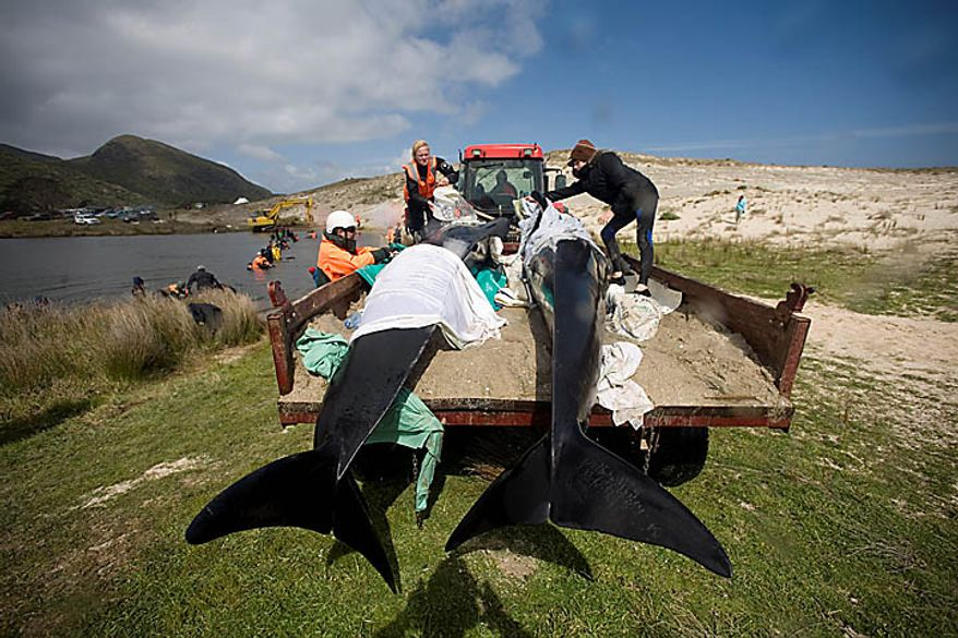 Whales are transported from the beach to a nearby stream where they can rest while it is decided how it will be attempted to release them at Spirits Bay in the Far North, New Zealand, Thursday, Sept. 23, 2010. Only 24 of several dozen pilot whales stranded on the remote northern New Zealand beach survived a stormy first night ashore despite rescuers' desperate efforts to save them.  (AP Photo/Richard Robinson)