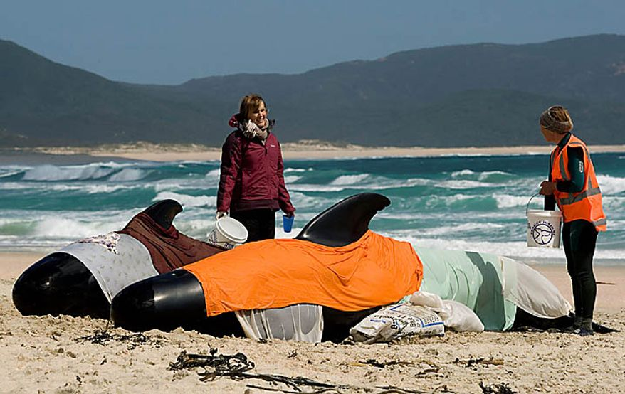 Volunteers Susan Crowther, left, and Justine Sanderson keep stranded whales moist while they wait to be transported from the beach to a nearby stream where they can rest while it is decided how it will be attempted to release them at Spirits Bay in the Far North, New Zealand, Thursday, Sept. 23, 2010. Only 24 of several dozen pilot whales stranded on the remote northern New Zealand beach survived a stormy first night ashore despite rescuers' desperate efforts to save them. (AP Photo/Richard Robinson)
