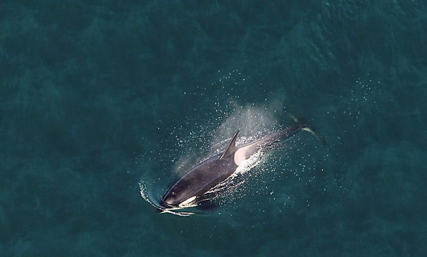 "A killer whale is seen from the air aboard the Zeppelin airship ""Eureka,"" near San Juan Island, Wash., Wednesday, Sept. 8, 2010. (AP Photo/Ted S. Warren)"