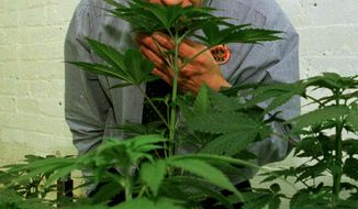** FILE ** In this Jan. 14, 1997, file photo, Denis Peron, founder of the Cannabis Cultivators Club, smells a northern lights marijuana plant in the club's growing room in San Francisco. (AP Photo/Eric Risberg, File