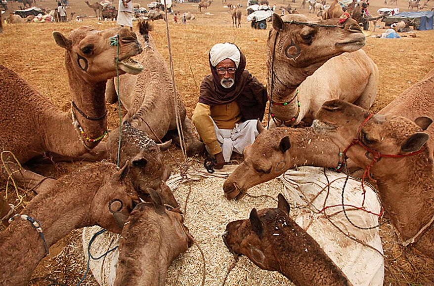 ** FILE ** AN Indian camel herder sits as he feeds his camels during the annual cattle fair at Pushkar in Rajasthan state, India, Nov. 13, 2010. (AP Photo/Rajesh Kumar Singh)