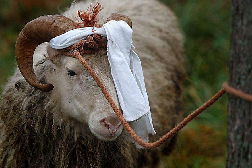 A sheep waits to be slaughtered for sacrifice during the holiday of Kurban Bairam, or Eid al-Adha, in the town of Ivye, 150 km (93 miles) west of capital Minsk, Belarus, Tuesday, Nov. 16, 2010. The celebration of the festival of sacrifice involves sharing the meat with the poor to commemorate the sacrifice of the biblical Abraham or Ibrahim, of a ram in place of his son. (AP Photo/Sergei Grits)
