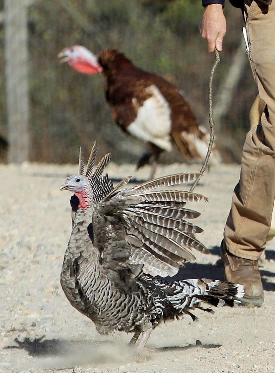 A Narragansett Hen Heritage turkey is prodded along by Mr. Battles as he herds his flock. A Bourbon Red turkey is seen in the background. Heritage turkeys have more dark meat and a flavor distinct from commercial turkeys. (Associated Press)