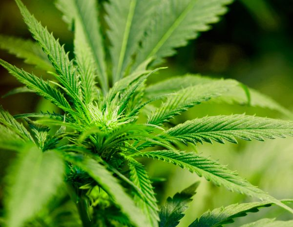 **FILE** A marijuana plant flourishes under grow lights at a warehouse. (Associated Press)