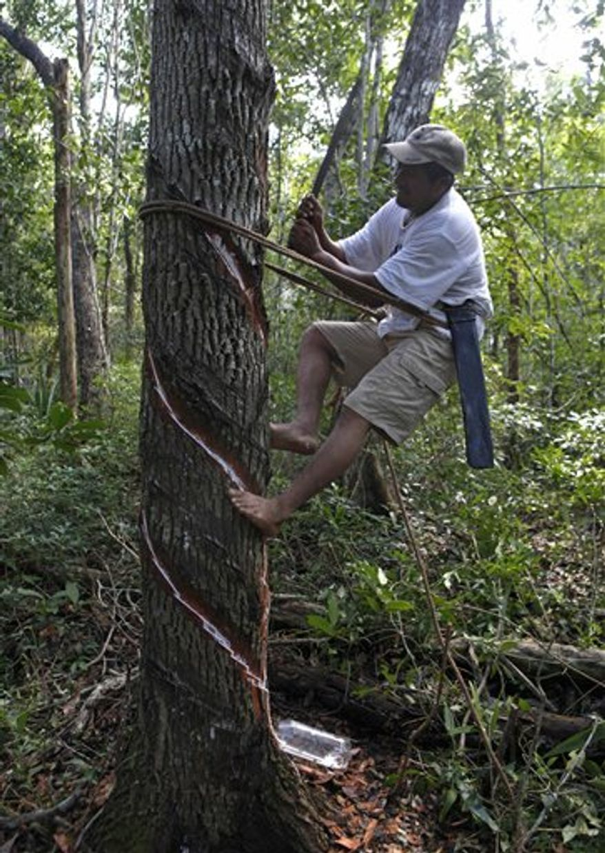 FILE - In this Nov. 30, 2010 file photo, Mayan Indian Pedro Chuc May collects sap from a tree known as a gum tree to produce natural chewing gum in Betania, Mexico.  A U.N. program, under debate at the climate change conference in Cancun, could help May and millions of others who live in forests earn more while slowing the deforestation that accounts for one-fifth of the global carbon dioxide emissions blamed for warming the planet.  (AP Photo/Eduardo Verdugo, File)