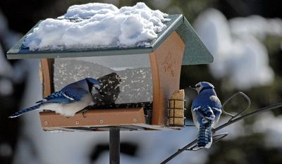 Blue jays visit a feeder at the home of Nancy Castillo and Lois Geshiwlm in Providence, N.Y. Beginning Friday, bird-watchers across the United States and Canada will be creating a snapshot of populations. (Associated Press)