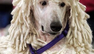 Parker, a standard poodle, waits to be judged during the first day of the Westminster Dog Show Monday, Feb. 14, 2011, at Madison Square Garden in New York. (AP Photo/Jeff Christensen)