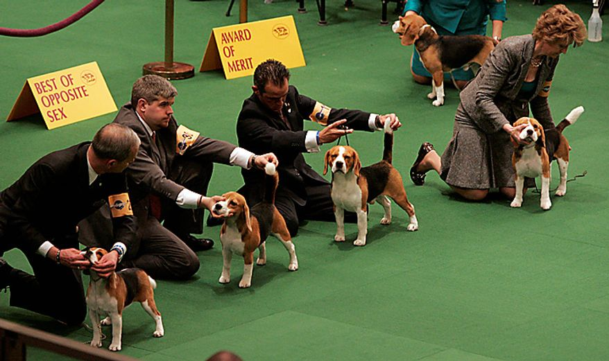 A group of beagles wait to be judged during the first day of the Westminster Dog Show Monday, Feb. 14, 2011, at Madison Square Garden in New York. (AP Photo/Jeff Christensen)