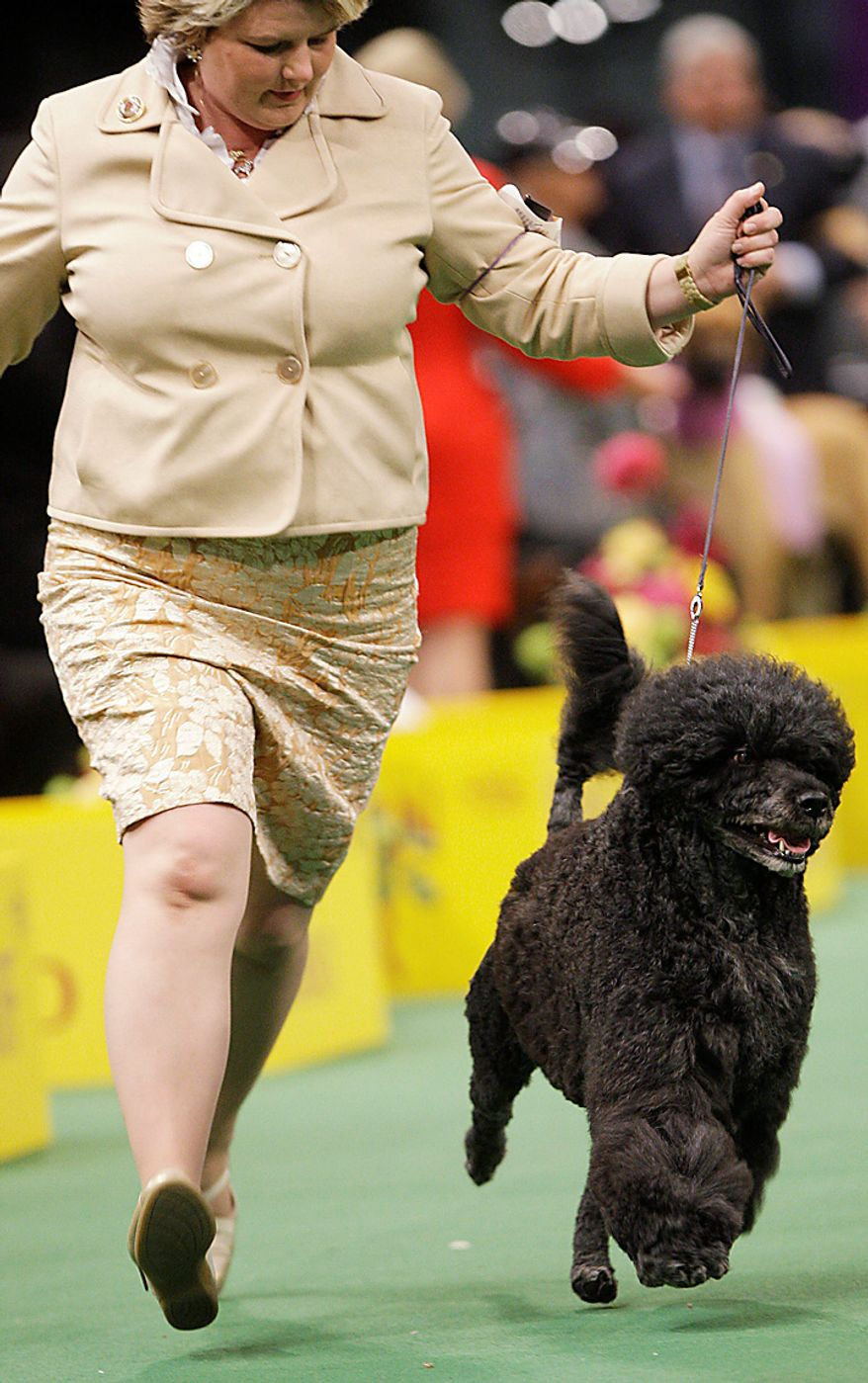 Ladybug, a Portuguese water dog, competes in the ring during the 135th Westminster Kennel Club Dog Show on Tuesday, Feb. 15, 2011, at Madison Square Garden in New York. Ladybug won the working group. (AP Photo/Frank Franklin II)