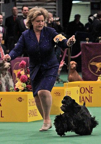 Beckham, a black cocker spaniel, competes in the ring at the 135th Westminster Kennel Club Dog Show on Tuesday, Feb. 15, 2011, at Madison Square Garden in New York. Beckham won the sporting group. (AP Photo/Mary Altaffer)