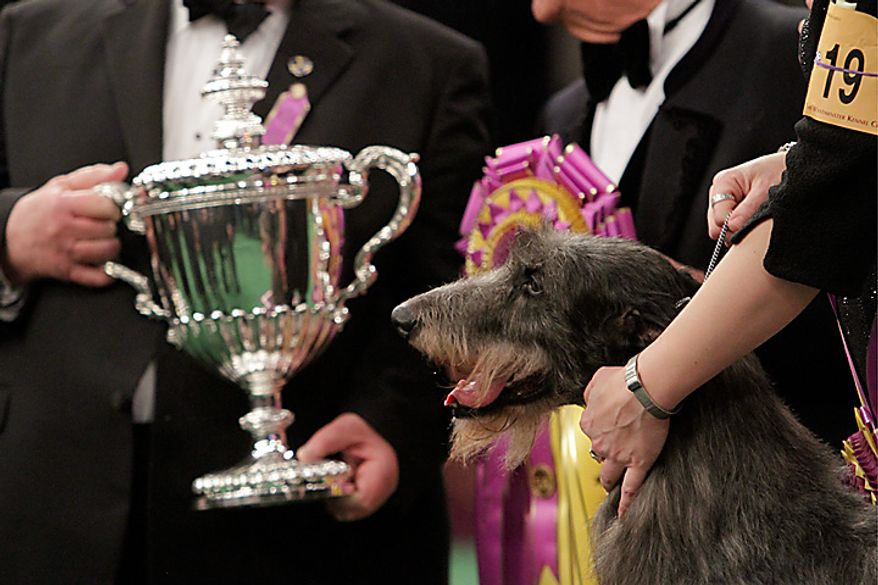 Scottish deerhound Hickory poses for photographs near the trophy after winning best in show at the 135th Westminster Kennel Club Dog Show on Tuesday, Feb. 15, 2011, at Madison Square Garden in New York. (AP Photo/Mary Altaffer)