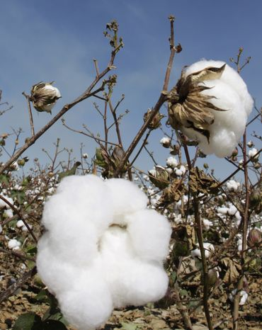 ** FILE ** Cotton grows in a field near Keo, Ark., in October 2008 before being harvested. Prices for commodities such cotton, oil, corn and wheat have soared in recent months, squeezing profit margins at many companies and forcing others to pass on the higher costs to retailers. (AP Photo/Danny Johnston, File)