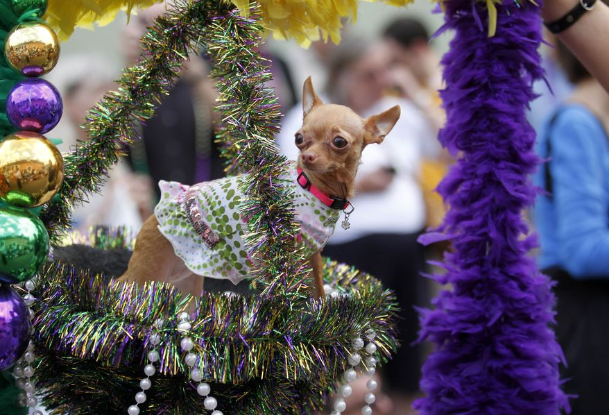 A Chihuahua dressed in costume rides in a hanging basket on a float during the Krewe of Barkus Mardi Gras parade in New Orleans on Sunday. The parade of dogs and their owners, a twist on the Krewe of Bacchus, benefits animal welfare organizations. (Associated Press)