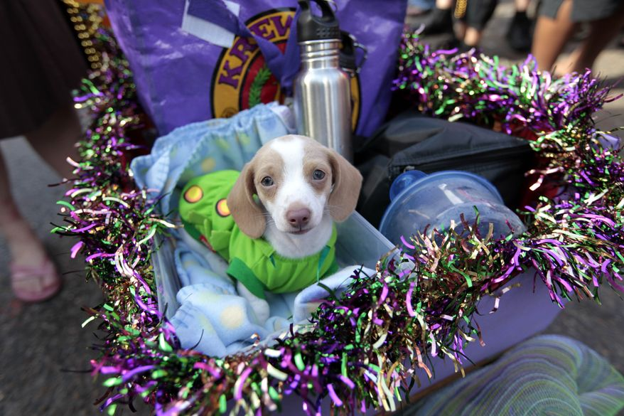 A Miniature Dachshund puppy dressed in costume is paraded through the French Quarter during the Krewe of Barkus Mardi Gras parade in New Orleans on Sunday. The parade of dogs and their owners, a twist on the Krewe of Bacchus, benefits animal welfare organizations. (Associated Press)