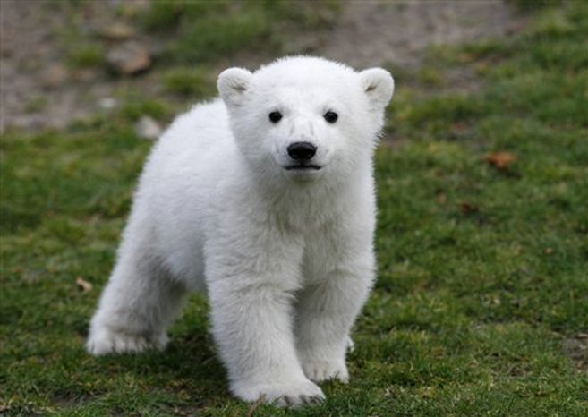 FILE - In this March 23, 2007 file photo, Knut, the polar bear cub, has its first public appearance with his keeper Thomas Doerflein in the Berlin zoo. A Berlin zoo official says world-famous polar bear Knut has died.  Bear keeper Heiner Kloes said that four-year-old Knut died Saturday afternoon March 19, 2011 while alone in his compound. He says the cause is not yet clear. (AP Photo/Herbert Knosowski, File)